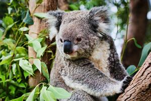 Koalaforblog